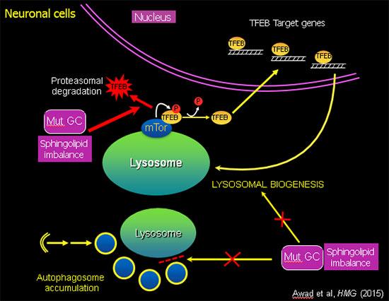 Neuronal cells