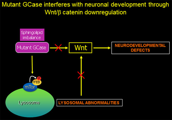 Mutant GCase interferes with neuronal development through Wnt/B catenin downregulation