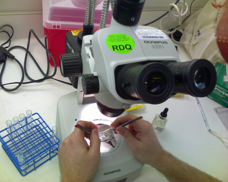 Examining Malaria fed Mosquitoes